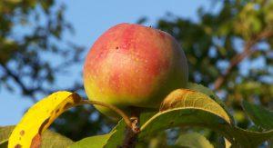 Jabłko_-_owoc1