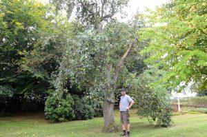 Pommer æbletræet_