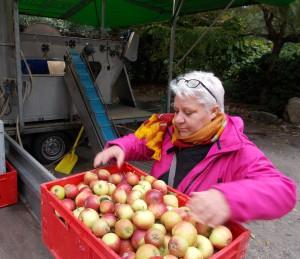 Else Marie fra bestyrelsen har travlt med at læsse æbler i pressen.